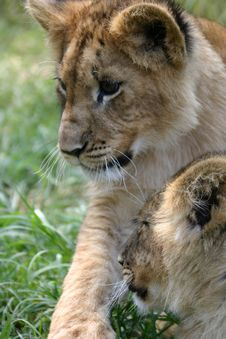 Free Lion Cubs Royalty Free Stock Photos - 5269778