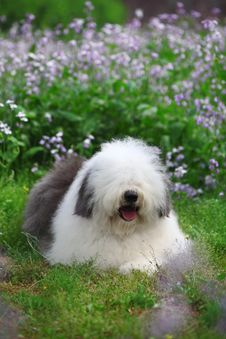 Free English Old Sheepdog Royalty Free Stock Photos - 5269788