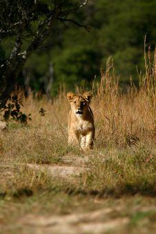 Free Lion Cub Stock Photo - 5269810