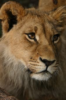 Free Young Male Lion Royalty Free Stock Photos - 5269818