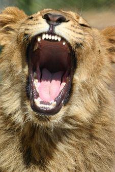 Free Lion Yawning Stock Photography - 5269932