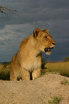 Free Lion Under A Stormy Sky Royalty Free Stock Photo - 5269995