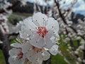 Free Flower Of The Apricot Tree (prunus Armeniaca) Stock Image - 52651101