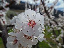 Flower Of The Apricot Tree (prunus Armeniaca) Stock Image