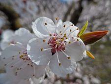 Flower Of The Apricot Tree (prunus Armeniaca) Royalty Free Stock Photos