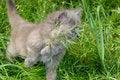 Free Hunting Kitten Royalty Free Stock Image - 5272056