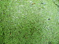 Free Duckweed Royalty Free Stock Images - 5275359
