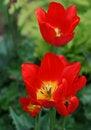 Free Tulips Stock Photos - 5278763