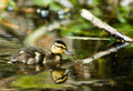 Free Cute Duckling In Spring Stock Photo - 5279980