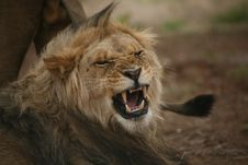 Free Adult Male Lion Growling Royalty Free Stock Photos - 5270038