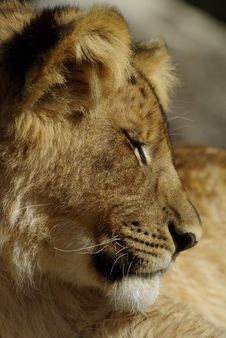 Free Young Lion Sleeping Stock Photos - 5270073
