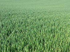 Free Green Field Background Royalty Free Stock Images - 5270529