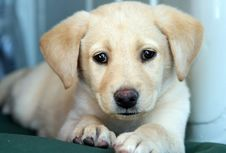 Free Labrador Retriever Royalty Free Stock Photos - 5271268
