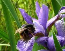 Free Bumble-bee Royalty Free Stock Photos - 5272578