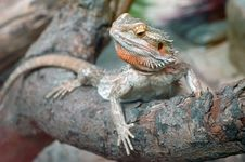 Free Bearded Dragon On Branch Royalty Free Stock Images - 5272749