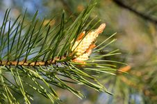 Free Close-up New Cone At Pine Royalty Free Stock Photo - 5272785