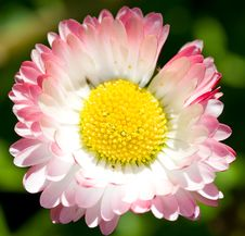 Free Close-up Single Daisy Royalty Free Stock Images - 5272809