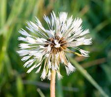 Free Dandelion At Sunrise Stock Photos - 5273023