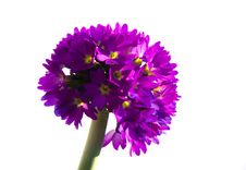 Free Lilac Pompom Primula Royalty Free Stock Photography - 5273157