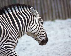 Free Zebra Royalty Free Stock Photos - 5274018