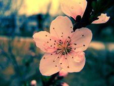 Free BEAUTIFUL BLOSSOM FLOWERS 002 Royalty Free Stock Photo - 5274045