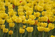 Free Tulips Royalty Free Stock Images - 5274079