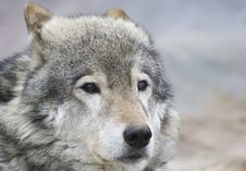 Free Portrait Of The Wolf Royalty Free Stock Photography - 5274117