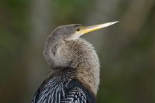 Free Anhinga Perched Stock Images - 5274334