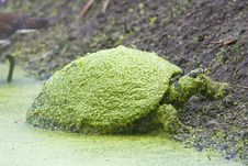 Free Common Cooter On The Bank Stock Photography - 5274352