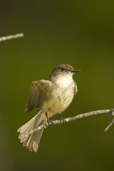 Free Eastern Wood-Pewee Stretching Royalty Free Stock Photography - 5274357