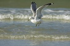 Free Ring-billed Gull Landing Stock Photography - 5274392