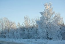 Free Frozen Birch .. Royalty Free Stock Photos - 5274448