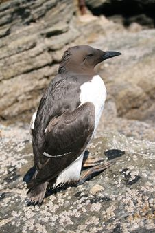 Free Guillemot Resting Royalty Free Stock Photography - 5274497