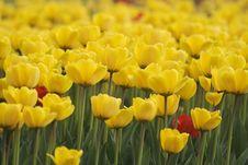 Free Tulips Royalty Free Stock Photos - 5274558