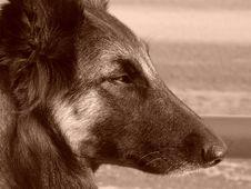Free Dog Royalty Free Stock Image - 5274976