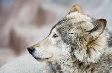 Free Portrait Of The Wolf Stock Image - 5274981