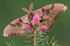 Free Polyphemus Moth On Evergreen Stock Photos - 5274983
