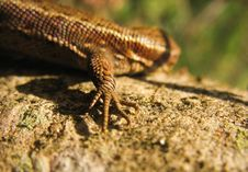 Free Forefoot Of Lizard Stock Photo - 5275050