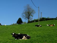 Free Cows Relaxing Royalty Free Stock Images - 5275309