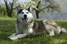 Free Husky Stock Photos - 5276133