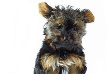 Free Teacup Yorkshire Terrier Royalty Free Stock Photo - 5276275