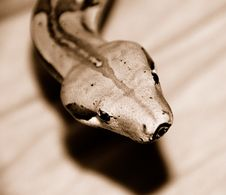 Free Boa Constrictor Head Royalty Free Stock Photos - 5276288