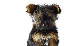 Free Teacup Yorkshire Terrier Royalty Free Stock Images - 5276289