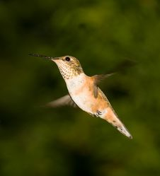 Free Ruby-Throated Female Hummingbird Royalty Free Stock Images - 5277179