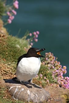 Free Razorbill Royalty Free Stock Photography - 5277477