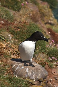 Razorbill Stock Photography