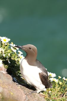 Free Guillemot Royalty Free Stock Images - 5277489