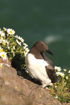 Free Guillemot Stock Photo - 5277490