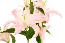 Free Beautiful Pink Lily Stock Photo - 5277730
