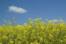 Free Rapeseed Field In Bloom Stock Images - 5277774